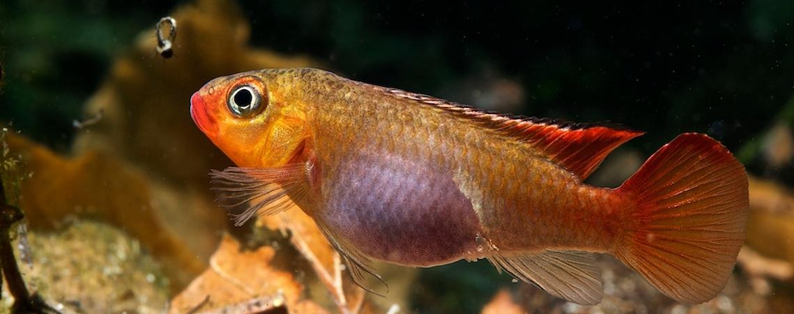 bandeau-congochromis