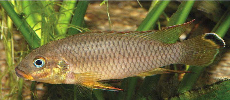 Pelvicachromis drachenfelsi mâle dominant en aquarium. Photo A. Lamboj, tirée de la description originale