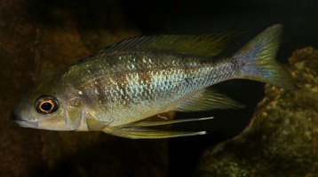 Ophthalmotilapia nasuta (Poll & Matthes, 1962)