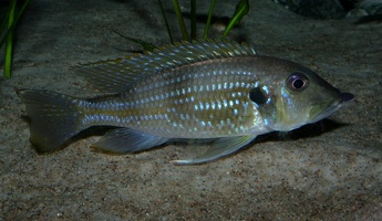 Gnathochromis permaxillaris (David, 1936)