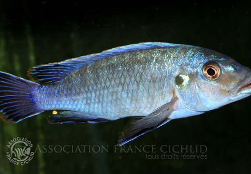 Pseudotropheus benetos (Bowers & Stauffer, 1997)