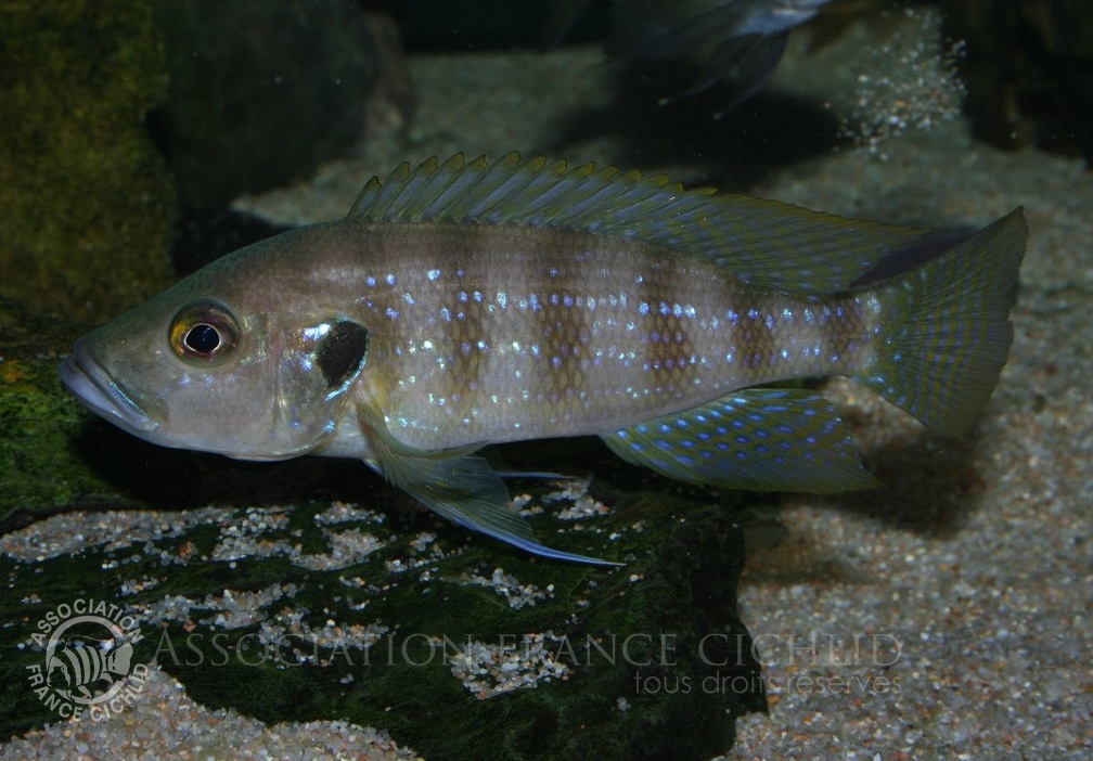 P.Tawil Greenwoodochromis christyi male.jpg