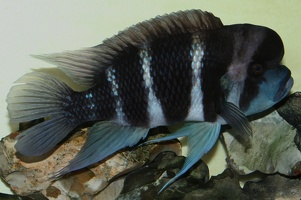 Cyphotilapia sp. 'frontosa 6 bandes'