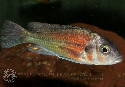 Haplochromis sp. 'Hippo point salmon'