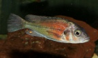 "Haplochromis sp. ""Hippo point salmon"""