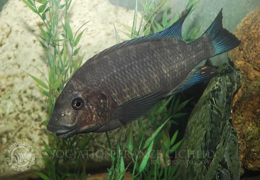 Petrochromis sp. giant