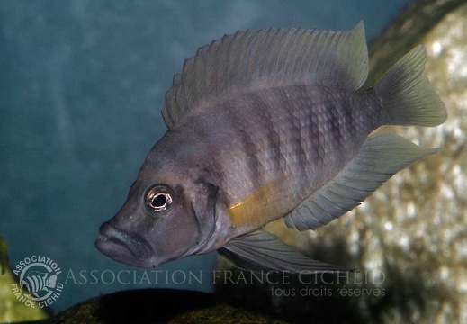 Altolamprologus sp. compressiceps 'shell'
