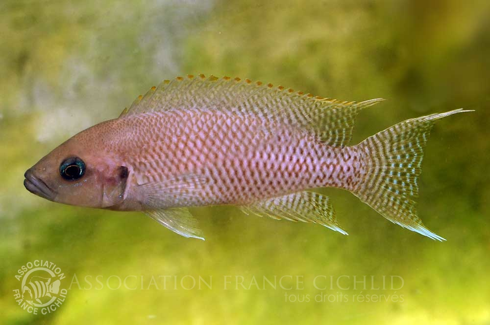 neolamprologus-crassus-bj-a.jpg