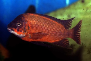 Petrochromis sp. red 'aff. polyodon'