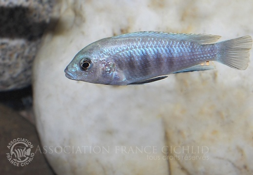 Labidochromis sp. 'blue white' 'Tumbi Reef'