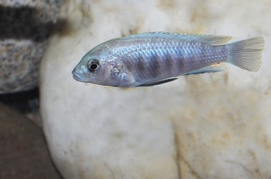 Labidochromis sp. 'blue white' Tumbi Reef