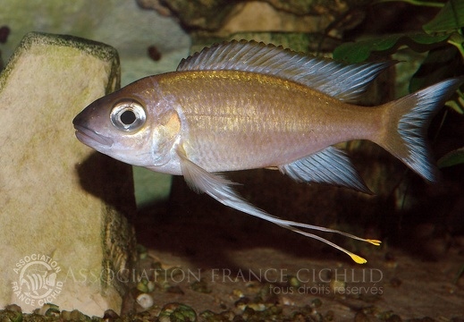 Ophthalmotilapia  sp. paranasuta