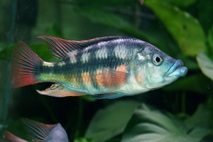 Paralabidochromis chilotes