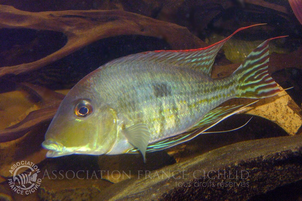 Geophagus  sp. 'Red Head'