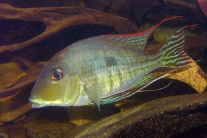 Geophagus sp. Red Head