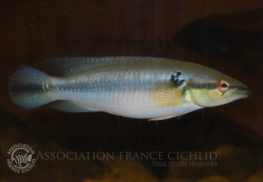 Crenicichla sp. 'Guariquito'