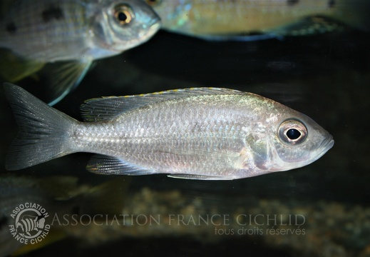 Placidochromis sp. 'electra blue' Mbamba Bay