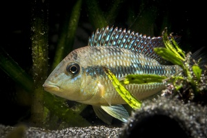Geophagus sp. Cauca