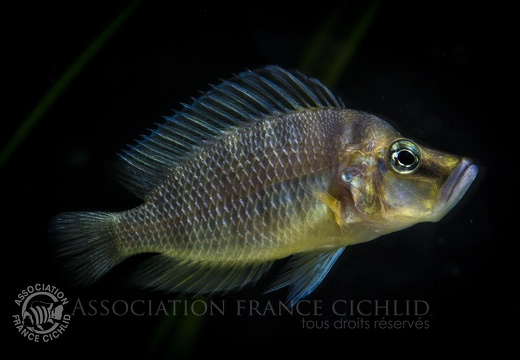 Altolamprologus compessiceps