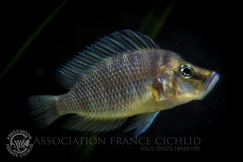 Altolamprologus compessiceps.JPG