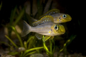 Xenotilapia sp. Sunflower Chituta