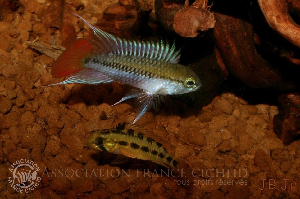Apistogramma sp. D25 'Colombie' En couple.jpg
