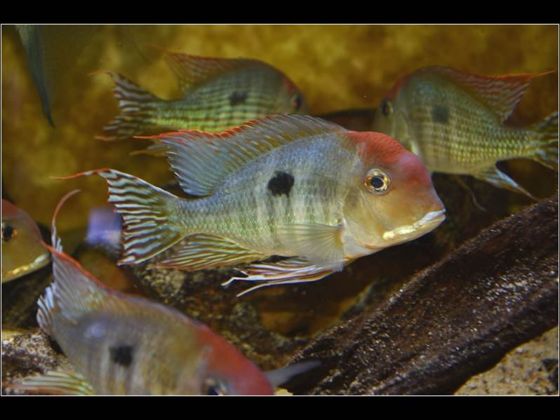 Geophagus sp. |dq|Red head|dq|