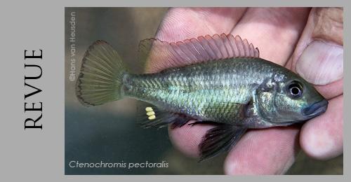 Ctenochromis pectoralis, cichlidé