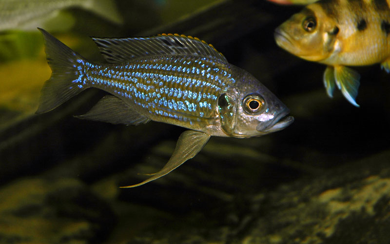 Aulonocranus aquarium