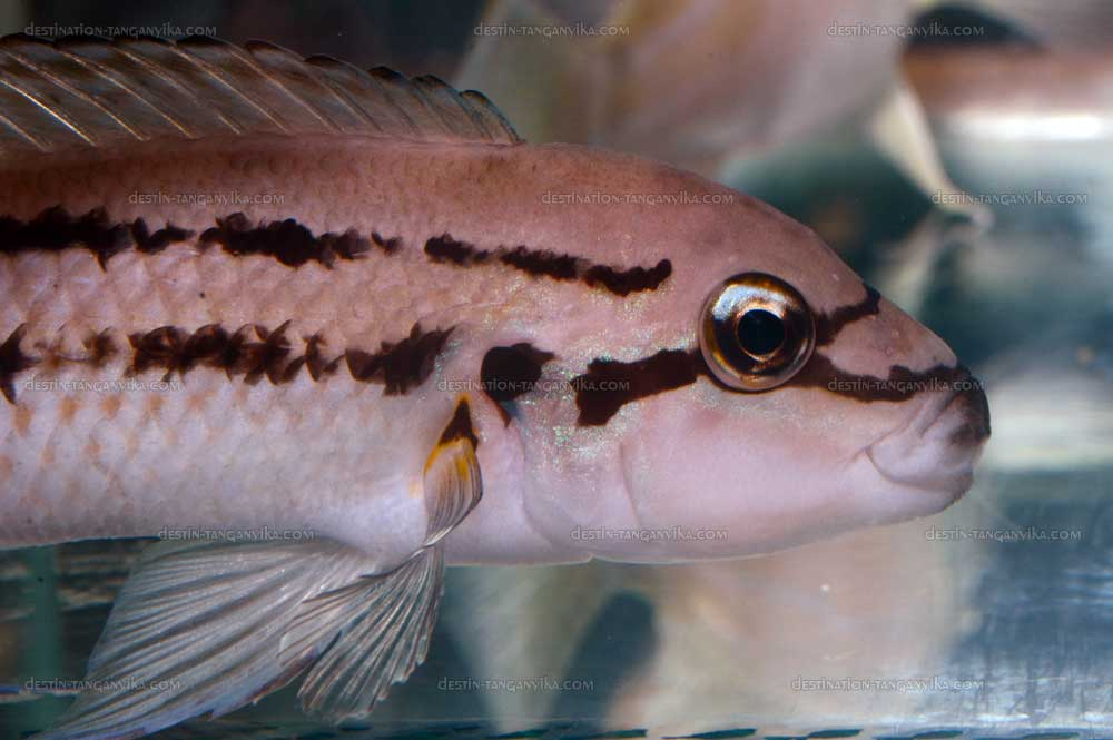 chalinochromis-sp-bifrenatus-vic-a.1