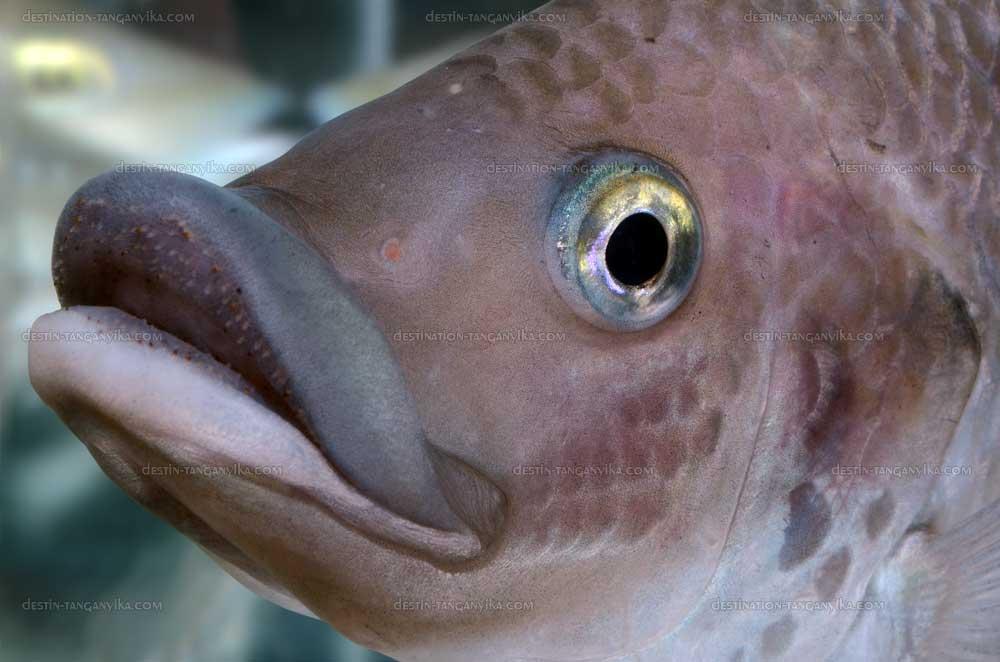 oreochromis-mossambicus-vic-a.1